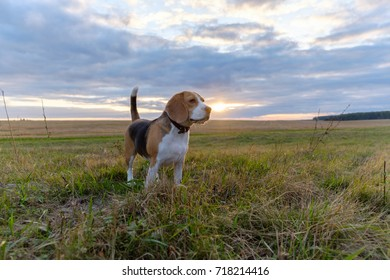 dog Beagle on a walk on an autumn evening at sunset