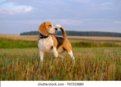 dog Beagle on a walk early in the morning at sunrise