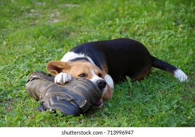 Dog beagle playing with shoes on a green grass