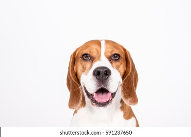 Dog beagle portrait on white background