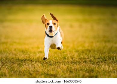 Dog Beagle running fast and jumping with tongue out through green grass field in a spring. Pet background