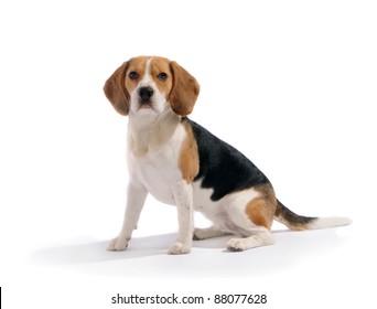 Dog (beagle) sit on white isolated background