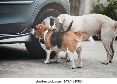 Dog beagle smelling and survey around car wheel before pee, The car had a different smell of dog pee.