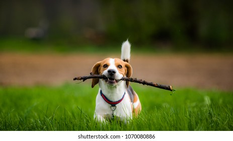 1d891d981097 Dog Beagle with a stick on a green field in a spring walks towards camera