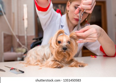 Dog Beautiful Yorkshire Terrier. Grooming animals, grooming, drying and styling dogs, combing wool. Grooming master cuts and shaves, cares for a dog. Beautiful combing animals.