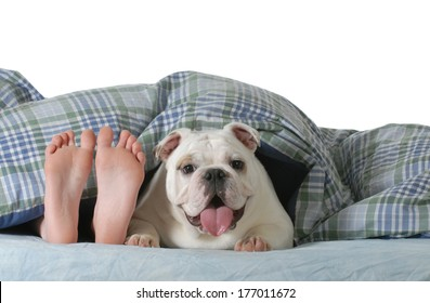 dog in bed - child's feed laying under the covers with happy english bulldog beside her isolated on white background