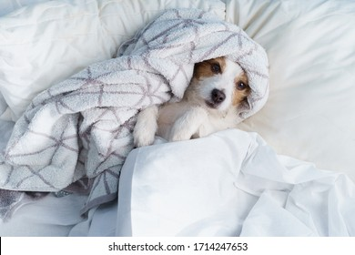 Dog in bed on white linens. The pet is relaxing, resting.