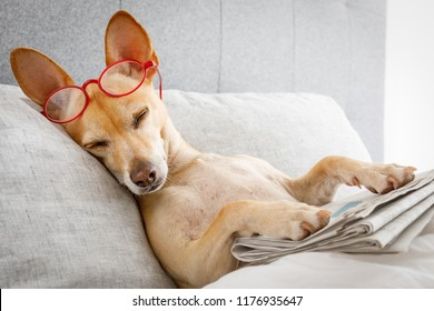 dog in bed resting or sleeping , with newspaper , dreaming in bedroom under the blanket , very tired or sick  and   ill