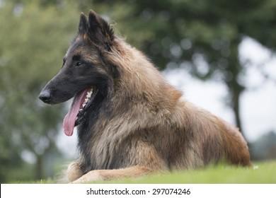 Dog, Belgian Shepherd Tervuren, lying in grass