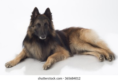 Dog, Belgian Shepherd Tervuren, lying eyes closed, isolated on white background