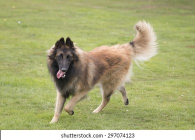 Dog, Belgian Shepherd Tervuren, running in grass