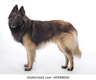 Dog, Belgian Shepherd Tervuren, standing on white studio background