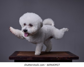 A dog, Bichon Frise, stretches its front right and back left feet with its mouth open and tongue out, Utility Cut. Background - grey.