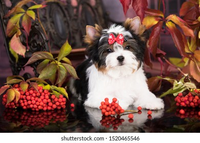 dog Biewer Yorkshire Terrier autumn and red  lrowan berries