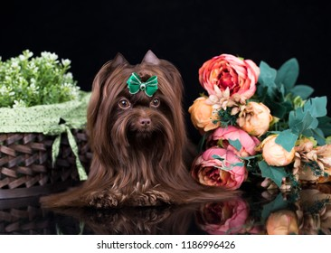 dog Biewer Yorkshire Terrier, coffee rare color exclusive