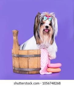 dog Biewer Yorkshire Terrier grooming, washing