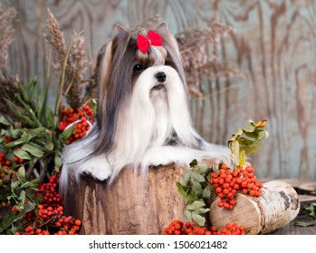dog Biewer Yorkshire Terrier and rowan berries, autumn background
