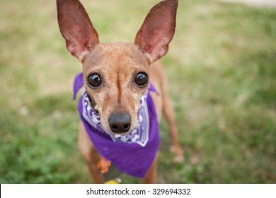 dog with big ears and eyes looking at the camera