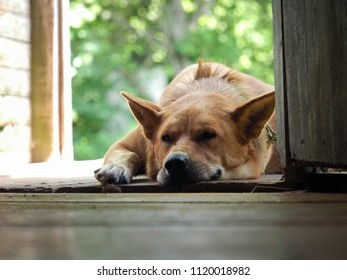 The dog is big, red's asleep on the doorstep of a village house. A dog's nose is bitten by a mosquito