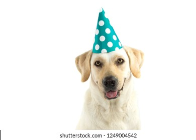 Birthday Hat Funny Golden Retriever Dog In Golden Party Hat Images