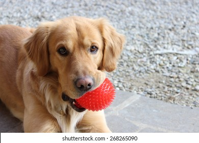 Dog biting a red ball and looking at the camera