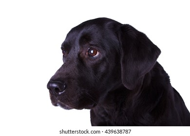 The dog black labrador isolated on white