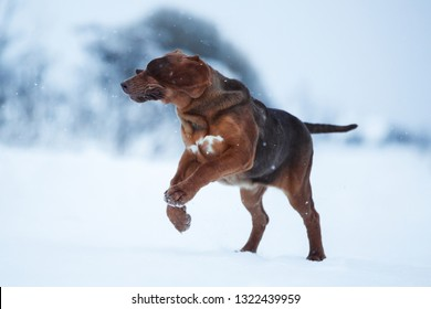 dog Bloodhound puppy runs towards winter, funny