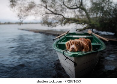the dog in the boat on the nature is resting. Nova Scotia Duck Tolling Retriever, Toller