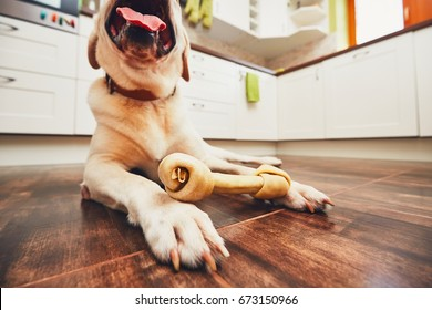 Dog with bone. Cheerful labrador retriever playing with bone for dental heath in home kitchen.