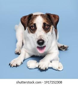 Dog with a bone on a blue background. Studio shot