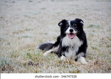Dog, border colie, active dog, december, winter