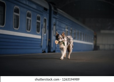 dog Border collie at the station, meets. Travel with a pet, festive mood