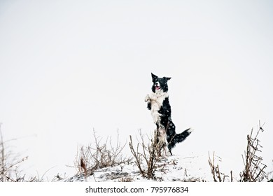 dog border collie in a winter forest