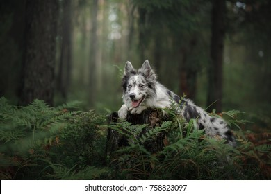 dog border collie in the woods. Pet on nature walks