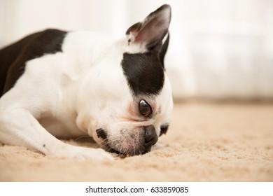Dog / Boston terrier