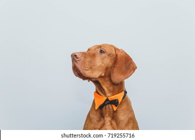 a dog in a bow tie