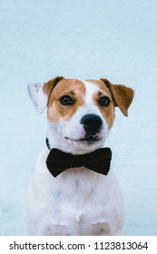 dog with a bow tie is looking into the camera
