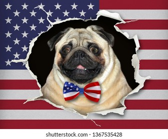 The dog in a bow tie is looking through hole in the paper flag of USA.