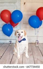 Dog in a bow tie ready for the fourth of July