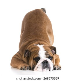 dog bowing - bulldog puppy with bum up in the air on white background