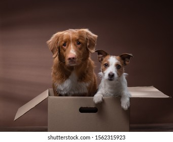 dog in a box, moving. Pet at home. Funny jack russell terrier and Nova Scotia Duck Tolling Retriever. Mail, package, gift