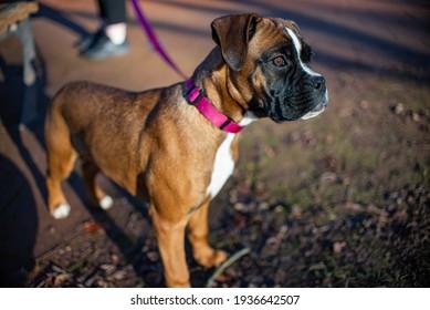 Dog Boxer Brown Animal Latch