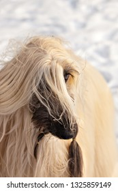 Dog breed dog Afghan Hound disheveled portrait in the snow in the winter forest
