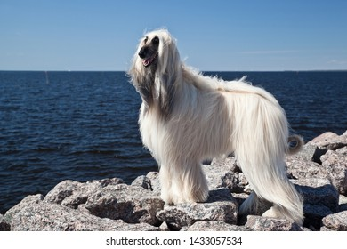 Dog breed dog Afghan Hound  is standing on a rocky beach by the sea against the blue sky