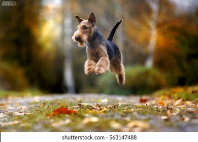 Dog breed Airedale