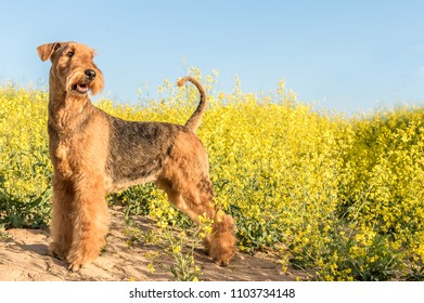 dog breed airedale terrier on a background of yellow flowers and blue sky