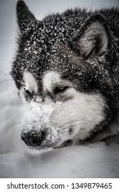 Dog breed Alaskan Malamute on a snow. Toned.