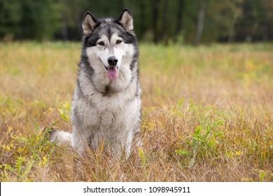 Dog breed Alaskan Malamute sitting on autumn meadow
