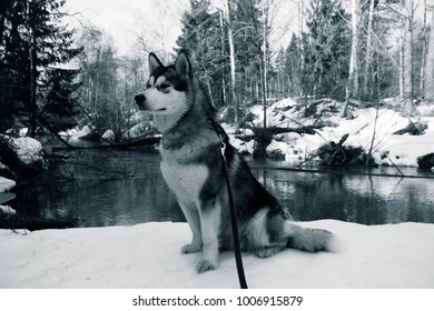 Dog breed alaskan malamute in a snowy forest. Toned.
