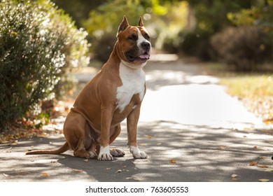 dog breed American Staffordshire Terrier on the walk